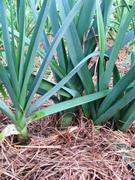 Leeks well mulched