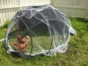 Our geodesic chook tractor