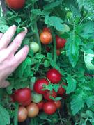 (Vic) summer tomatoes still going