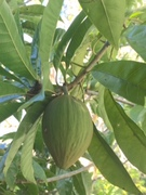 Yellow sapote developing