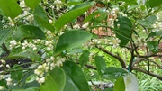 West Indian Lime Bursting with Buds