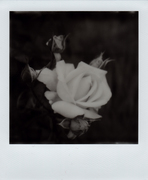 Da rosa nasce rosa