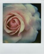 Rosa Rosae Rosae: Rosa