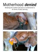 breaking mother calf bond