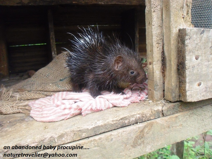 an abandoned baby procupine...(24)