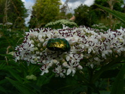 beetle and flower