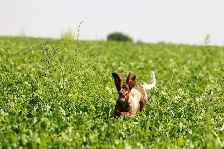 chasse avec un epagneul picard du Domaine d'iron