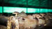 AR LIVRE: Colheita de Cogumelos Shiitake