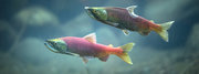 Documentary Film: Salmon Wars