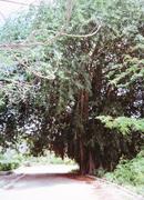 Large Banyan Trees (Ficus benghalensis) opposite Banaba House Banaba 1997