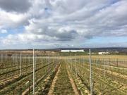 Vignes taillées du centre de recherche UKZUZ, en République tchèque