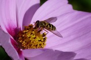 A 'Syrphus' hoverfly on one of the controversial flowers