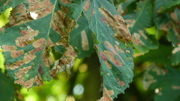 Looks like at least one Horse Chestnut affected by Cameraria ohridella