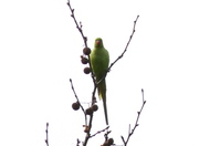 A Ring-necked Parakeet in the park this morning.