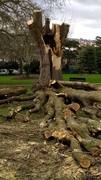 Poplar felled after winds of February 2017