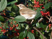 A Redwing pauses between mouthfuls