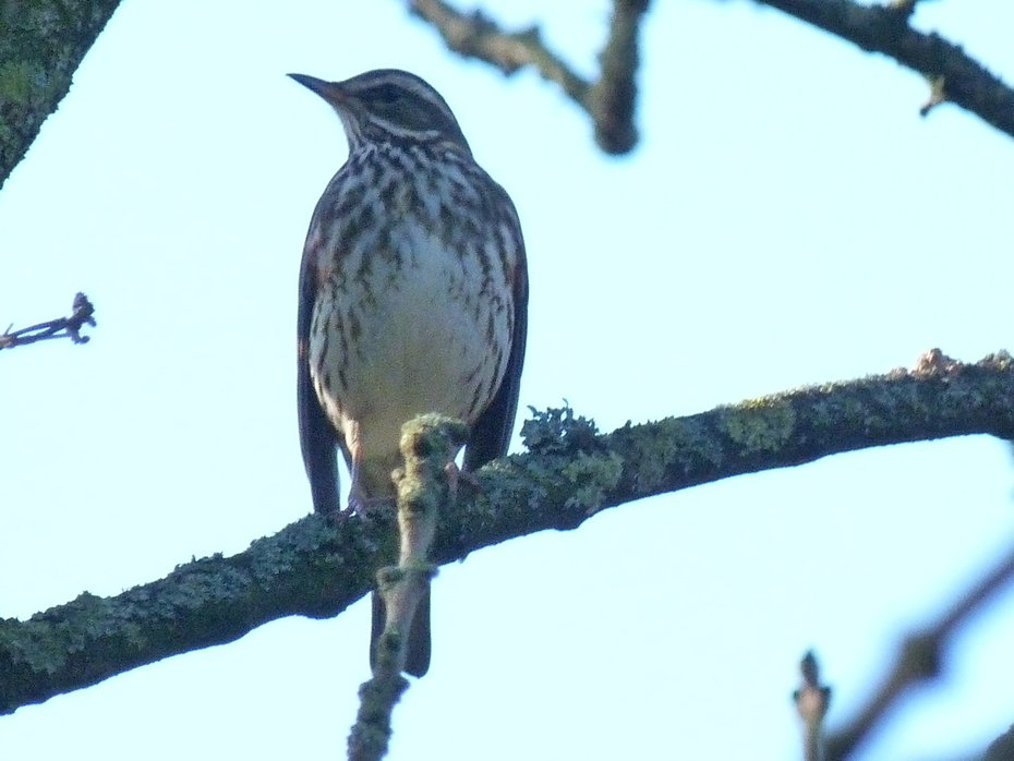 The first of the Redwings in the park this morning