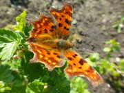 First butterfly on my allotment this year.