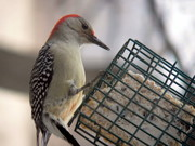 carries woodpecker