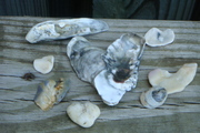 Crooked Sea Shell Hearts