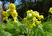 Cowslips in flower, April 7th '19