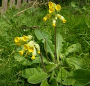 Cowslips in bloom on bank by side of pond, April 7th '19