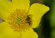 A solitary bee species, Gooden's Nomad Bee on Caltha flower in pond, April 7th, '19