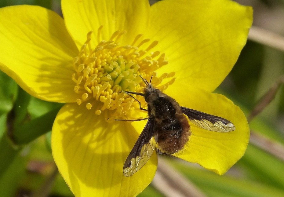 An early spring insect - the Greater Bee-fly (Bombylius major) feeding on Caltha flower in pond, April 7th '19.