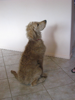 ADOPTED - Charley, 5 month old male Goldendoodle in Tucson