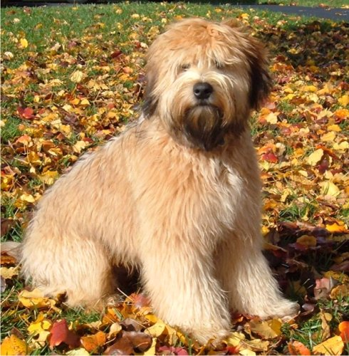 Soft Coated Wheaten Terrier Oodles Of