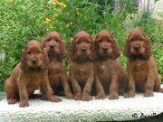 Diervilla puppies 6 weeks old