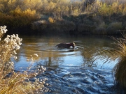 Nugget  at home in the river            Nov. 2013