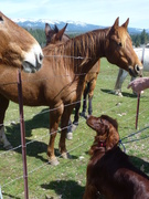 Nugget meets the horses Quincy 4-9-14  (7)