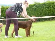 Alton Heath Exemption show 2nd puppy