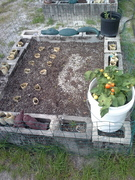 planted pepper sprout bed