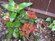 coleus in bloom