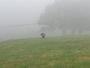 Wild Turkey at Marin Headlands