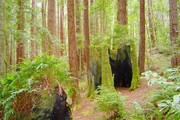 Redwood forest on the Fern Trail