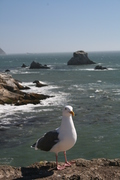 Seagull at Archrock, Point Reyes