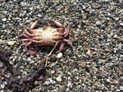 Crab, Kelham Beach, Point Reyes