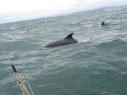 Dolphins off Exmouth 1