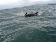 Dolphins off Exmouth 2