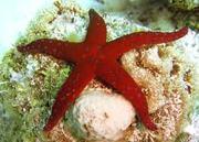 Sea Star (1;)