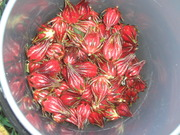FIrst Pick of Rosellas