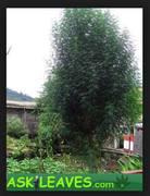 askleaves_tree