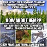 Nuclear disasters and hemp/cannabis