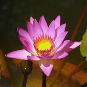 Asian flower photo lotus