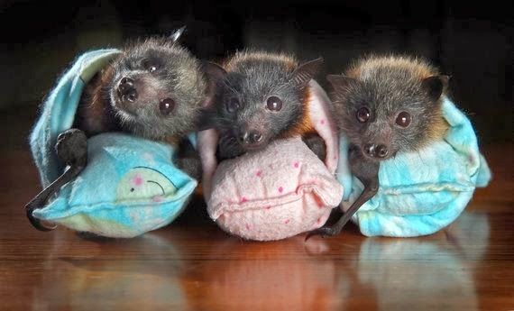 Rescued Baby Flying Foxes - Australia