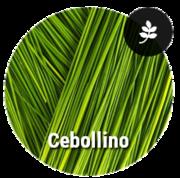 EBOLLINO