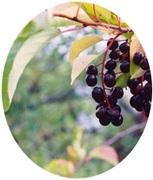 Bird Cherry seeds